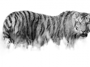 Fine art photo, black and white Siberian tiger