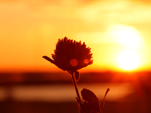 flower clover in backlight. sunset
